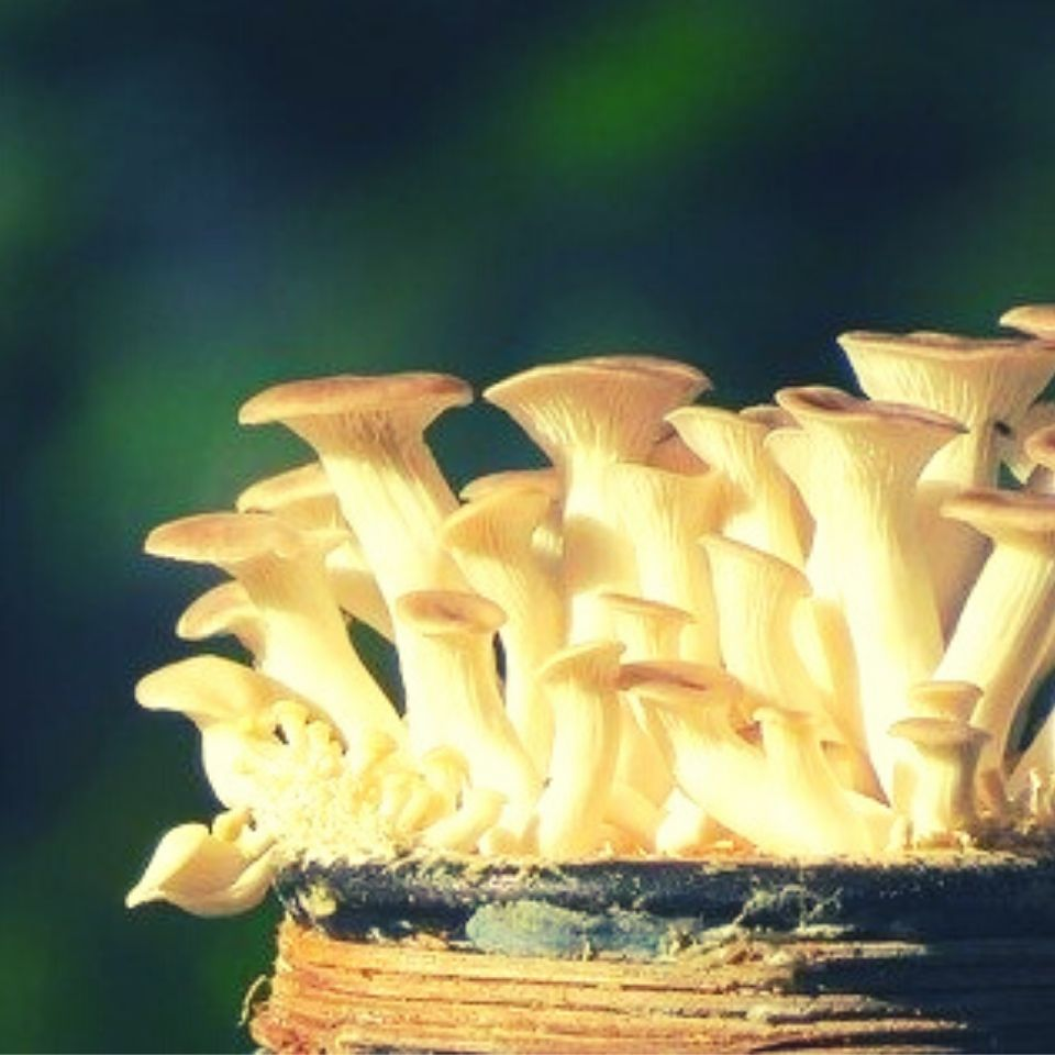 grow-oyster-mushrooms